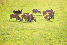 Group Of Elands Antelopes Eati...
