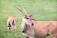 Group Of Elands Antelopes Eating In A Green Prairie