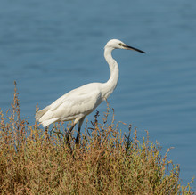 Great White Heron In Grass By Sea