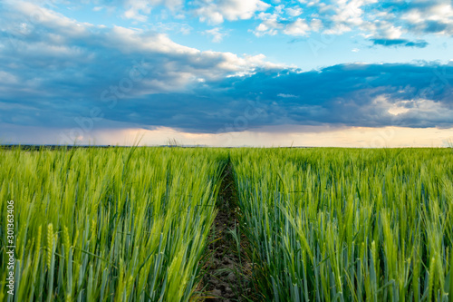 Fotografija  Path in a wheat field