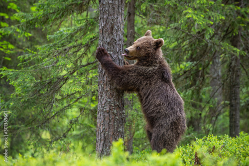 Vászonkép  Brown bear stands on its hind legs by a tree in a summer forest