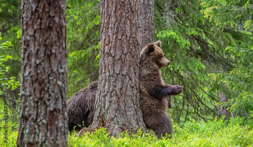 Brown bear stands on its hind legs by a tree in a summer forest Tapéta, Fotótapéta