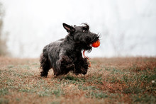 The Scottish Terrier Dog At Autumn