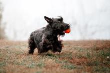 The Scottish Terrier Dog At Au...