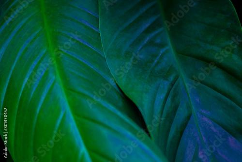 Keuken foto achterwand Texturen abstract green leaf texture, nature background, tropical leaf