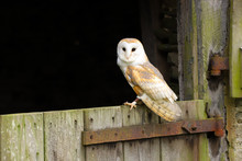 Barn Owl (Tyto Alba) Sitting On The Door Of An Old Farm Building.  Taken In The Mid-Wales Countryside UK.