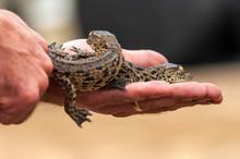 Nile Crocodile Baby, Hatchling...