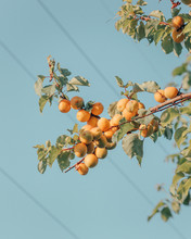 A Branch Of Tree With Apricots On Blue Sky Background
