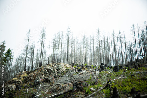 Road trip in Vancouver Island: deforestation and forest restoration areas; tall douglas firs ready to be cut. Spooky atmosphere. #301378276