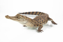 A Baby Saltwater Crocodile (Cr...