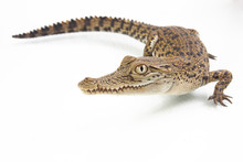 A Baby Saltwater Crocodile (Cr...
