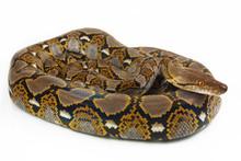 Reticulated Python (Python Ret...