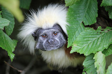 Cotton Top Tamarin Framed By Leaves