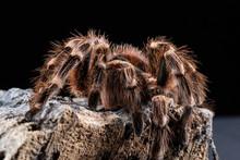 Brazilian Whiteknee Tarantula, Acanthoscurria Geniculata, On A Piece Of Cork Bark