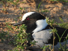 Nesting Blacksmith Lapwing Plover