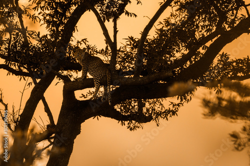 Photo  Leopard in Kruger National park, South Africa