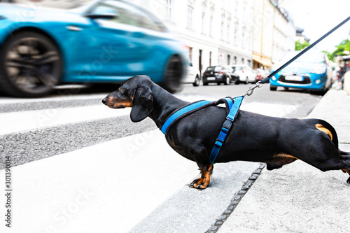 Papiers peints Chien de Crazy dog and owner with leash crossing street