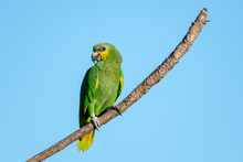 An Orange-winged Amazon Parrot...
