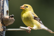 Female American Goldfinch (Spi...