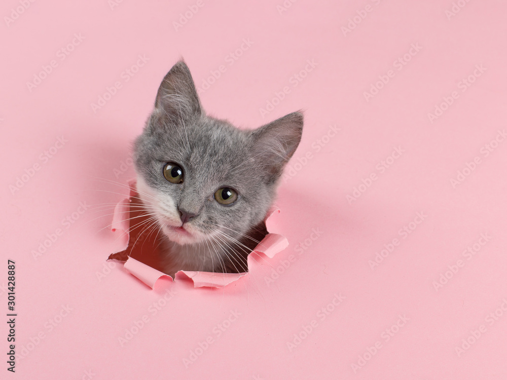 Fototapety, obrazy: The kitten is looking through torn hole in pink paper. Playful mood kitty. Unusual concept, copy space.