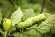 Close Up Of Bright Green Tomato Hornworms Eating Leaves