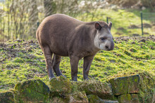 Tapir Standing On Stones With Moss On The Shore Of A Pond