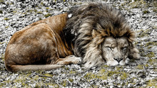 Lion Sleeping Peacefully On Dry Leaves And Some Green Grass, Quiet Day In A Nature Reserve