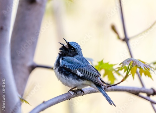 Fotografie, Obraz The Black Throated Blue Warbler a handsome and familiar warbler of the northern forests