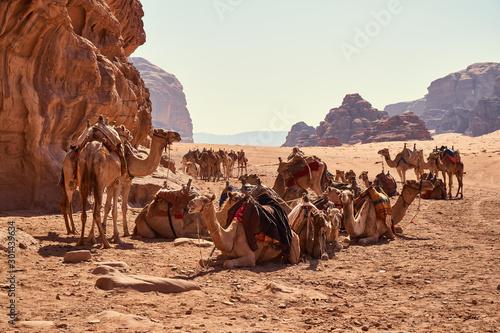 Flock of camels resting in Wadi Rum desert, Jordan Canvas Print