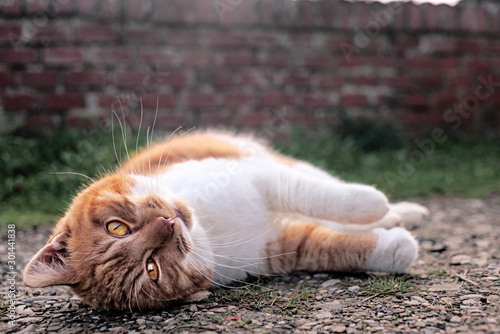 Fototapety, obrazy: The ginger cats rolls over by the railway line wall.