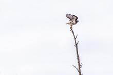 Red-tailed Hawk (Buteo Jamaice...
