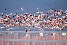 Flock Of Pink Flamingos From L...