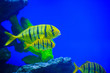 canvas print picture - tropical sea fish