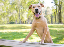 A Yellow Labrador Retriever Mixed Breed Dog With A Happy Expression