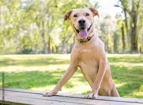 Fotografiet A yellow Labrador Retriever mixed breed dog with a happy expression