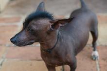 Mexican Hairless Dog III , Cuba