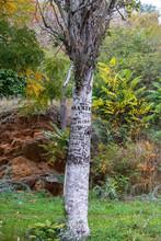 A Tree With A Knife Scrawled O...