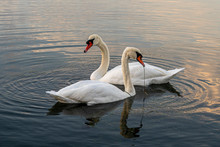 Couple Of Swans In The Sea At ...