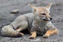 Grey Fox Resting