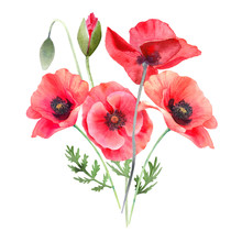 Watercolor Red Poppies. Wild F...