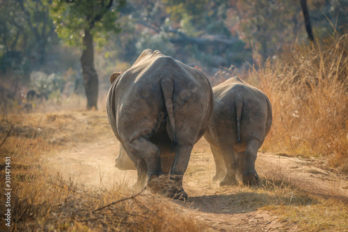White rhinos walking on the road. Fototapeta