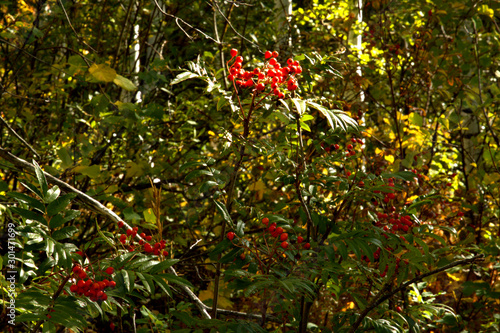 Photo Mountain Ash berries are used to make medicine, the berries can be used fresh, dried or cooked
