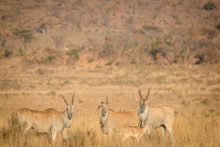 Herd Of Eland Standing In The ...