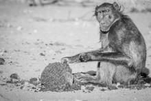 Chacma Baboon Sitting And Eati...
