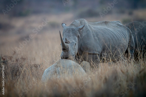 Fotografija  White rhino resting his head on a rock.