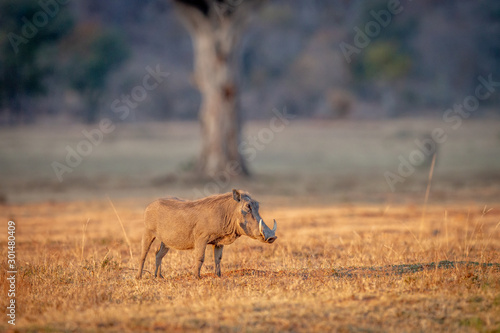 Warthog standing in the grass. Wallpaper Mural