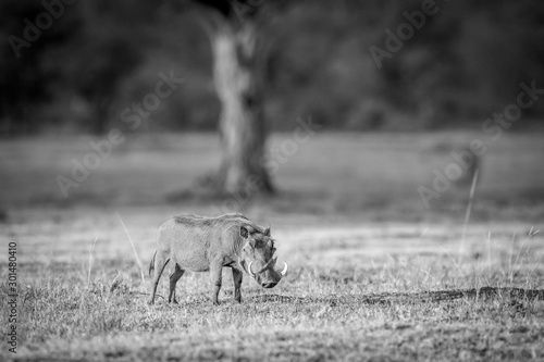 Warthog standing in the grass. Canvas Print
