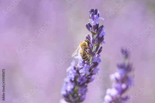 Tuinposter Lavendel Bee on a flower