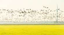 Birds Flying Over A Field With Wind Turbines In Sunlight At Fall