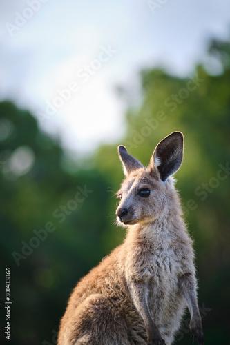 Wild Kangaroos and joeys on open grass land in Gold Coast, Queensland, Australia Wall mural